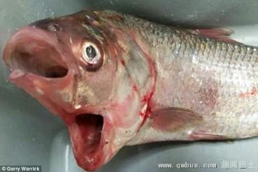 澳大利亚发现怪鱼双嘴骨鲷