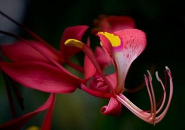 日本植物园内世界最美花木璎珞木盛开