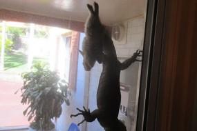 澳洲居民后院拍到巨蜥捕野兔罕见画面