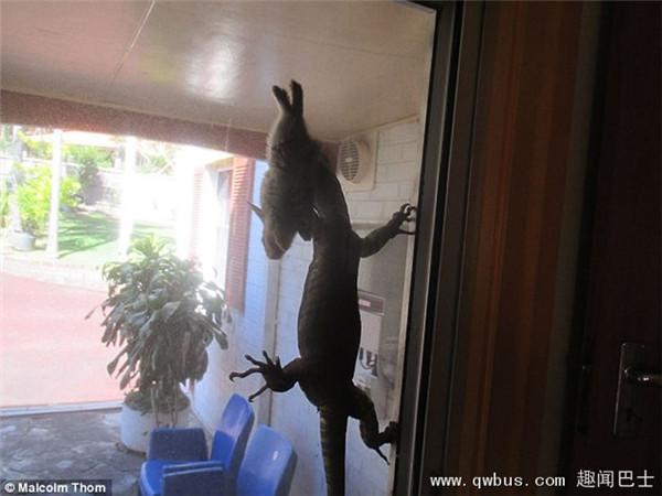 澳洲悉尼北部老人在自家后院目睹巨型蜥蜴捕捉野兔的震惊情景