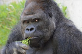 日本超酷猩猩成招聘代言 有众多女粉丝