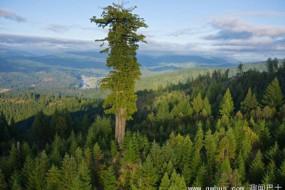 美国发现世界最高的树 红杉树比40层楼高