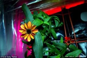 第一朵太空绽放的花:空间站百日菊开花