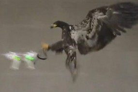 老鹰捉无人机  荷兰警方对付非法无人机大杀器