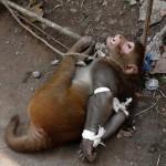 印度顽皮猴子遭居民投诉 被捆绑示众