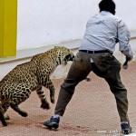 [视频]印度野豹子大闹校园 被捕7天后又从动物园逃跑