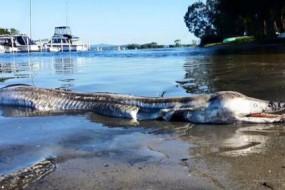 澳海滩现不明怪物尸体 海豚头鳄鱼牙齿