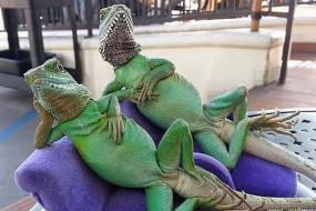 宠物蜥蜴摆各种有趣POSE享受日光浴
