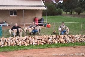 澳大利亚狐狸遭农民大量捕杀