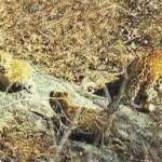 河南云台山发现3只金钱豹