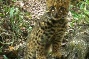珍稀动物云猫清晰照 外表野性霸气