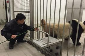 公熊猫拒绝与母熊猫交配被麻醉电刺激采精