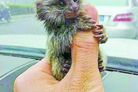 小伙3万一只卖拇指猴 专家:不合法