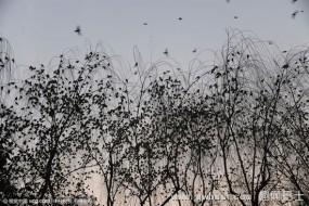 济南趵突泉现万鸟投林场面壮观