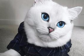 英国短毛猫Coby深蓝色大眼睛被称最美猫咪