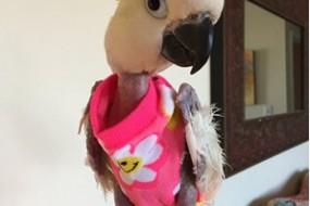 鹦鹉患忧郁症拔光毛 穿花毛衣保暖