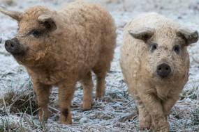 匈牙利曼加利察猪全身卷毛性情温和似绵羊