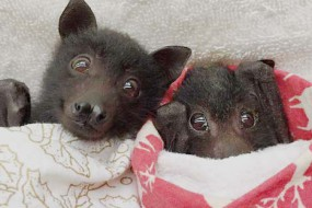 被弃狐蝠宝宝裹着棉毯吸奶嘴