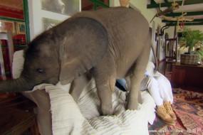 女子收留被遗弃小象