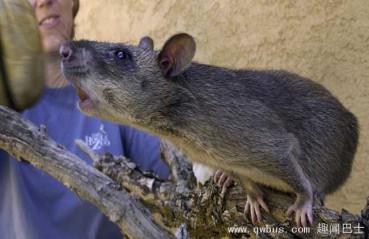 纽约发现罕见巨型变异老鼠