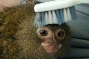 侏儒狨现身香港 为世界最小猴