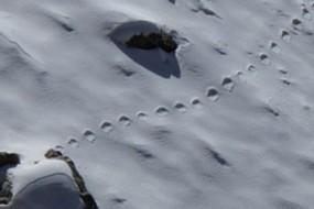 喜马拉雅山发现雪人脚印 登山家拍清晰照片