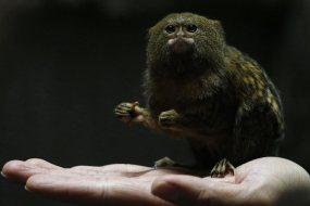 世界最小的灵长类动物侏儒狨  现身香港海洋公园