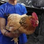 最长寿母鸡27岁 相当于人300岁