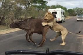 游客贴身拍狮子捕食水牛