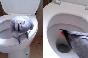 女子训练非洲灰鹦鹉用马桶上厕所