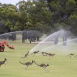 澳袋鼠群浩荡占领高尔夫球场