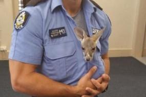 澳洲警察收养袋鼠宝宝