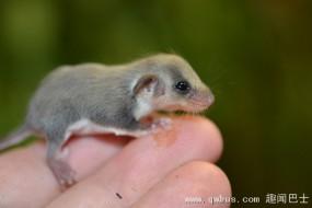 澳动物园成功繁育出仅半个米粒大羽尾袋鼯幼崽
