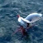 凶猛海鸥遭贼章鱼拖下水致命一击