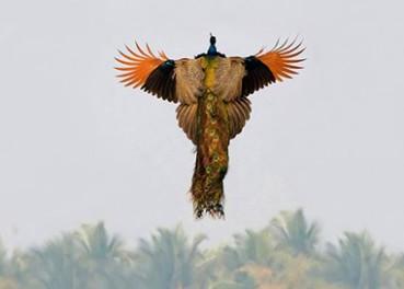 孔雀飞翔似传说中的凤凰