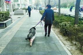 女子中关村遛猪好几年 小香猪长成大肥猪