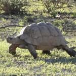 狮子欲撬龟壳吞食乌龟未得逞