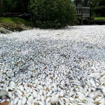 美国佛州海岸死鱼堆积 触目惊心