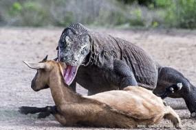 科莫多巨蜥猎食山羊 场面惊人