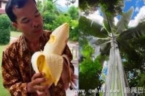 巴布亚新几内亚巨大芭蕉 比人胳膊还粗