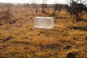 人装玻璃箱大战狮群  被吓得惊心动魄