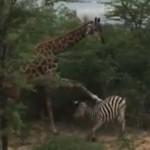 南非斑马抢食被长颈鹿踢跑