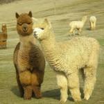 澳洲羊驼肉上餐桌 神兽草泥马肉质鲜美