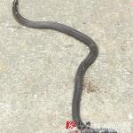 村民挖出一窝两头蛇 前后各一个脑袋