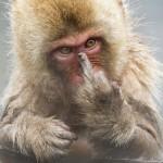 日本猕猴晨浴时被偷拍竖中指抗议