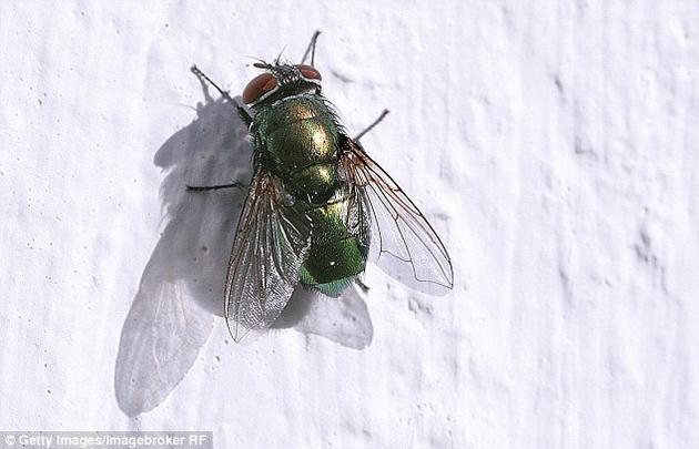 研究中所用的蛆虫是经过基因改造的丝光绿蝇(学名:Lucilia sericata)幼虫。这些幼虫生成和分泌的是血小板衍生生长因子-BB(platelet derived growth factor,PDGF-BB),能促进细胞生长和存活,推动愈合过程。-趣闻巴士