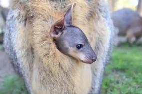 小袋鼠从妈妈育儿袋探头看世界萌翻网友