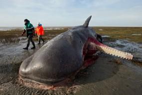 抹香鲸胃中取出鱼网和引擎盖 塞满垃圾被饿死