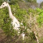 罕见白色长颈鹿  精灵气十足