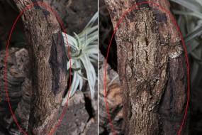真正伪装大师:南叶尾壁虎完美隐身树干